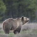 Blondie The Bear by Matt Shiffler
