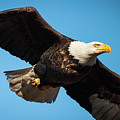 Bloody Bald Eagle by Jeff Phillippi