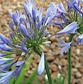 Blue Agapanthus by Connie Fox
