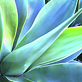 Blue Agave by Denise Taylor