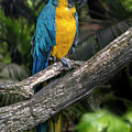 Blue-and-yellow Macaw by Arterra Picture Library