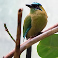 Blue-crowned Motmot by Ed Taylor
