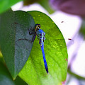 Blue Dasher by Patti Whitten