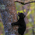 Blue Eyed Bear Cub Climbing A Tree by Dan Sproul