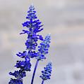Blue Salvia Flowers by Les Palenik
