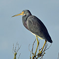 Blue Heron Atop A Branch by Bruce Gourley