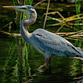 Blue Heron by Christopher Holmes
