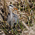 Blue Heron On The Hunt by Sue Harper