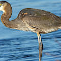 Blue Heron On The Shore by Jack Peterson