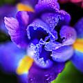 Blue Iris Dance by Az Jackson