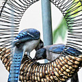 Blue Jays Wooing 1 by Patricia Youngquist