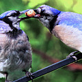 Blue Jays Wooing 2 by Patricia Youngquist