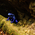 Blue Poison Dart Frog by Chris Flees