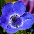 Blue Poppy by Susie Weaver