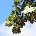 Blue Sky Magnolia by Carol Groenen
