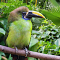 Blue-throated Toucanet by Arterra Picture Library