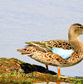Blue-winged Teal Female Duck by Paula Guttilla