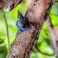 Blue Wings On Brown Branch by Max Huber