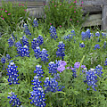 Bluebonnets And Porch by Patti Schulze