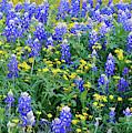 Bluebonnets Spring 041219 by Rospotte Photography