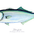 Bluefish by Charles Harden