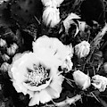 Bnw Prickly Pear Cactus In Full Bloom by Rachel Hannah