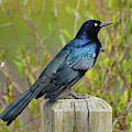 Boat Tailed Grackle by Jerry Griffin