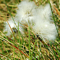 Bog Cotton On The Moor by Victor Lord Denovan