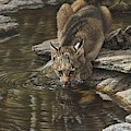 Bobcat Drinking From Stream by Alan M Hunt