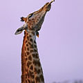Bone Chewing Giraffe by Rudi Hulshof