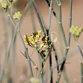 Boxelder Beetle On Desert Milkweed At Sunnyland  by Colleen Cornelius