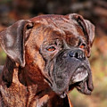 Boxer by Debbie Stahre