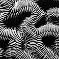 Brain Coral In Macro Bw by Mike Nellums