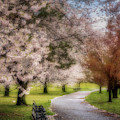 Branch Brook Nj Cherry Blossoms by Susan Candelario