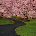 Branch Brook Park Cherry Blossoms by Susan Candelario