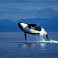 Breaching Orca Whale Orcinus Orca by Stuart Westmorland