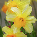 Bright Daffodil Trio By Tl Wilson Photography by Teresa Wilson