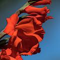 Bright Gladiolus by Robert Potts