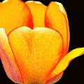 Bright Yellow Macro Tulip on Black