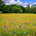 Brilliant Wildflower Days In The Hill Country by Lynn Bauer
