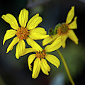 Brittlebush H1853 by Mark Myhaver