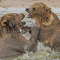 Brown Bears Fighting by Larry Linton