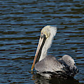 Brown Pelican by Jemmy Archer