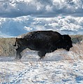 Buffalo Charge.  Bison Running, Ground Shaking When They Trampled Through Arsenal Wildlife Refuge by OLena Art Brand