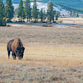 Buffalo In Yellowstone by Mark Duehmig