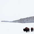 Buffalo Or Bison On The Plains In Winter by Imaginegolf