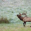 Bugling Bull by Rod Best