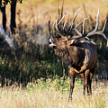 Bull Elk 3068 by Joe Stewart