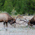 Bull Elk Battle Rocky Mountain National Park by Nathan Bush