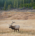 Bull Elk Bugles by Mark Duehmig